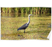 Grey-necked Heron, NT Poster