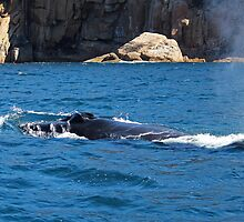 Humpback Whale Spout by Nick Delany