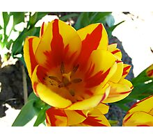A tulip with volume Photographic Print