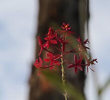 Australian native orchid by indiafrank