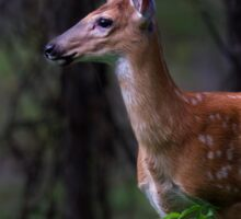 Portrait of a Fawn - White Tailed Deer Sticker