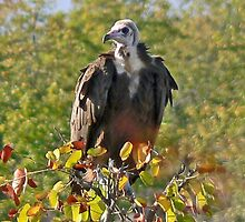 White-headed Vulture by Graeme  Hyde
