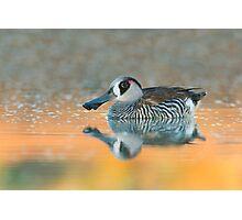 Pink-eared Duck - Bollard's Lagoon, South Australia Photographic Print