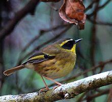 Yellow-Throated Scrubwren by Leslie-Ann