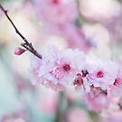 Cherry Blossoms by karenanderson