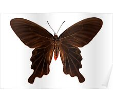 "Butterfly species Atrophaneura aristolochiae kotzebuea ""Common rose"" Poster"