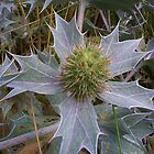 Sea Holly by lezvee
