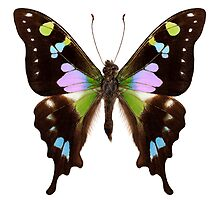 "Butterfly species Graphium weiskei ""Purple Spotted Swallowtail"" by Pablo Romero"