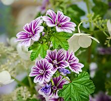 Malva sylvestris by PhotosByHealy