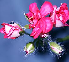 Pelargonium7. by MQ20