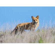 Red Fox Hunting Rabbits Photographic Print