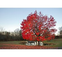 Maple Morning  Photographic Print