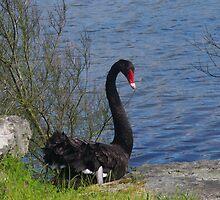 Black Swan by lezvee