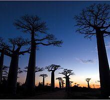 Sunrise at the avenue of Baobab, Madagascar by Fidisoa Rasambainarivo