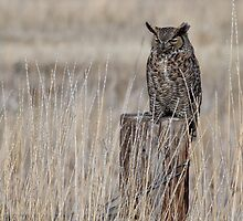 Great Horned Owl Napping  by Kathleen Bishop