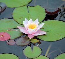 Lotus by Bob Hardy