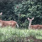 Deer by ChuckBuckner