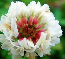 Red and whtie clover blossom by fotosbykarin