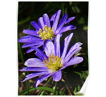 Two blue and yellow flowers Poster