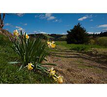 Daffodil Farm, Lawrence, New Zealand Photographic Print