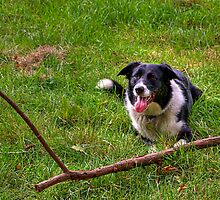 BORDER COLLIE by MIKESCOTT