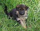 Puppy in Grass by Sandy Keeton