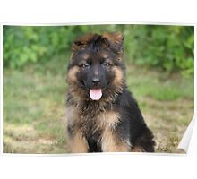 Long Coated Puppy Poster
