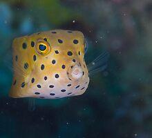 Juvenile Yellow Boxfish by Mark Rosenstein