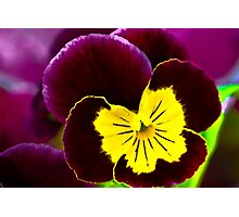 Purple and Yellow Pansy Photographic Print