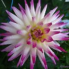 Star spangled Dahlia by MarianBendeth