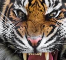 Growling Tiger Sticker