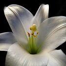 Lily On Black by WildestArt