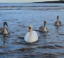 Adult Swan With Three Juveniles by Adrian Wale