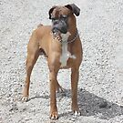 Boxer on Gravel  by SpiceTree