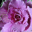 Pretty in Purple - Ornamental Cabbage Macro by BlueMoonRose
