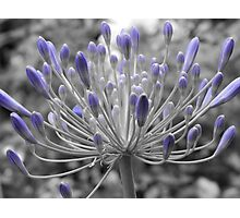 Budding Agapanthus Photographic Print