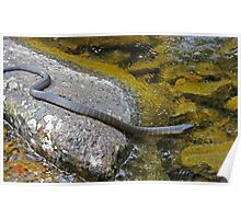 Swimming Tiger Snake Poster