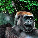 Western Lowland GORILLA~     **Critically Endangered* by Sassafras