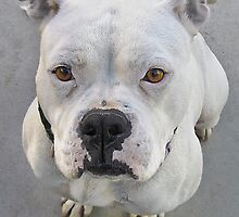 Brienne - 1 year old female spayed pit bull by David Chesluk
