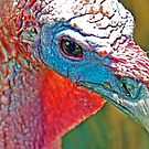 "American Wild TURKEY-- "" Franklin"" by Sassafras"