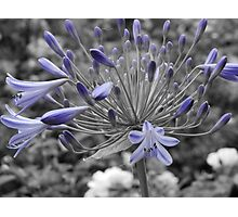 Blooming Agapanthus Photographic Print