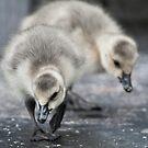 Canadian Goslings by jude walton