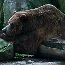 Grizzly Bear by jude walton