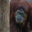 Orangutan by jude walton