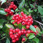 Red Berries by kathrynsgallery