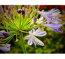 Agapanthus in Colour Photographic Print
