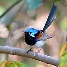 Variegated Fairywren Taken at the Border Range NP. by Alwyn Simple