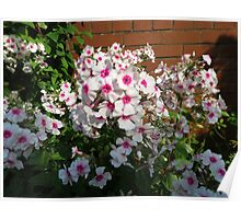 Sunlit Pink and White Blossoms Poster