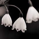 Snow Drops I by KirstyStewart
