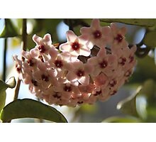 Hoya in flower Photographic Print